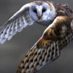 Owl78