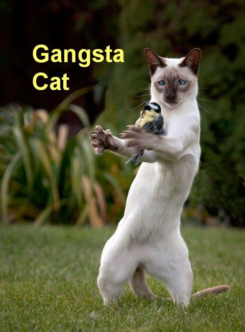 GangstaCat2.jpg
